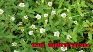สมุนไพร พรมมิ แคปซูล องค์การเภสัช GPO ราคา อ้วยอัน herbal one