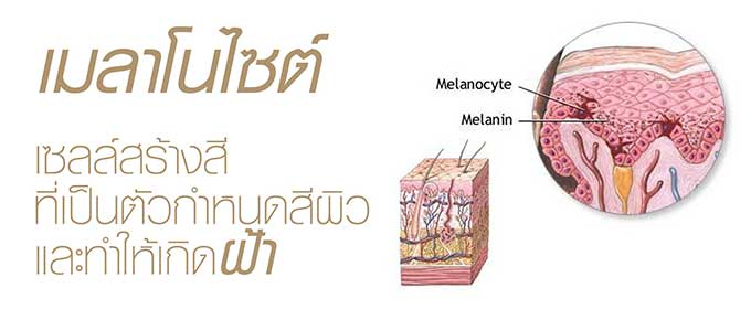 melanocyte เมลาโนไซต์